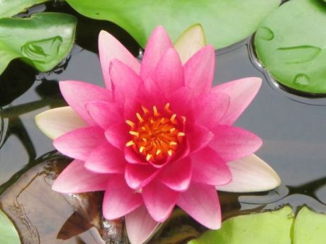 People and Lilies Can Grow on Pads