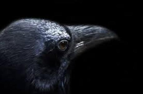 A raven is a larger-bodied member of genus Corvus.